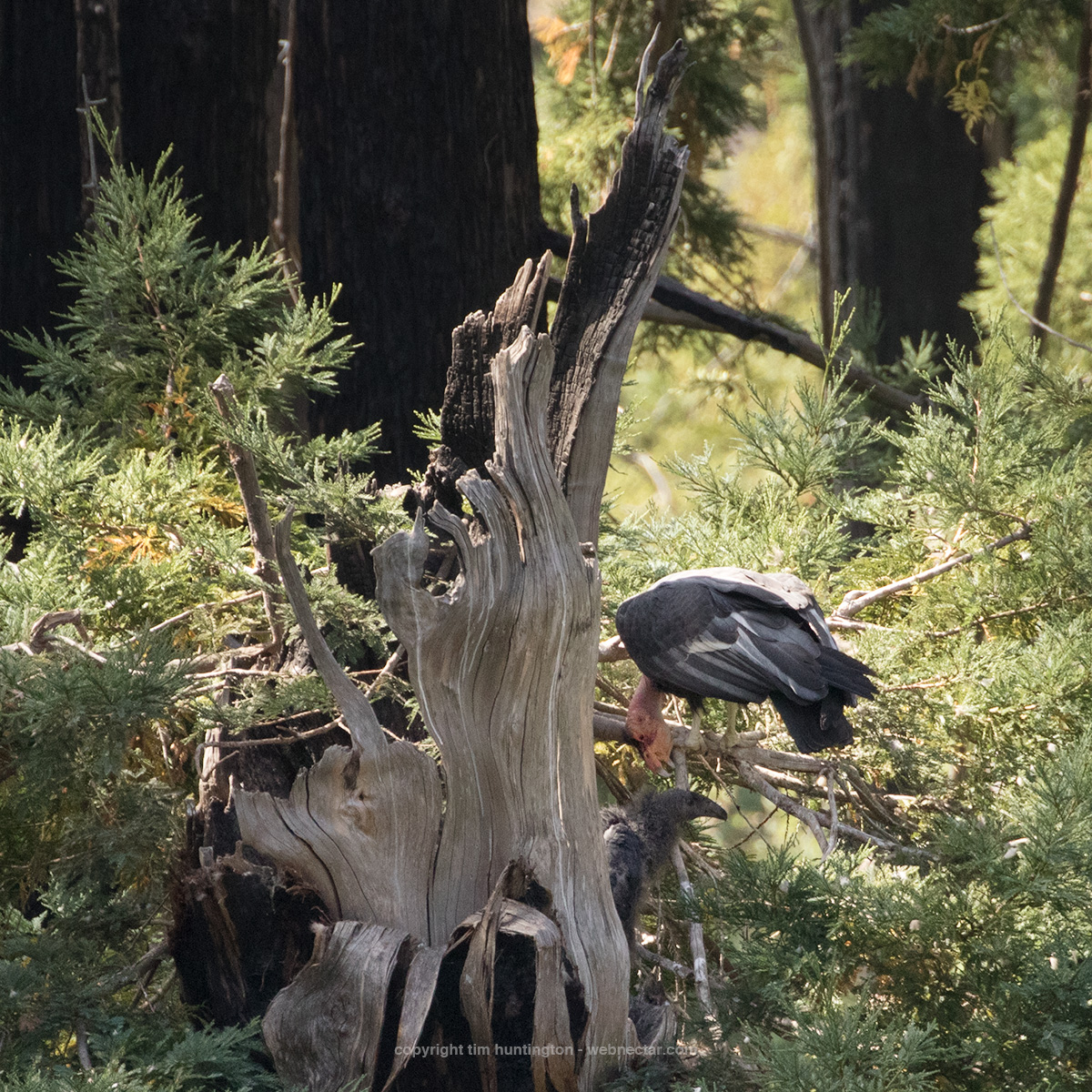 California condor 204 Amigo tends to his current nestling, condor 1003, in their redwood tree nest cavity in Big Sur.