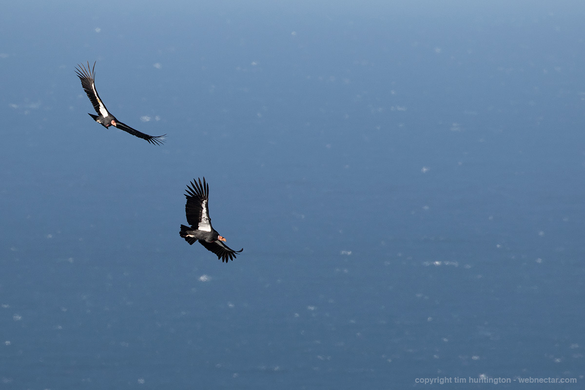 "Father son pair of condors 204 ""Amigo"" and his son 470 ""Fuego"" circle together over a windy, choppy ocean in Big Sur."