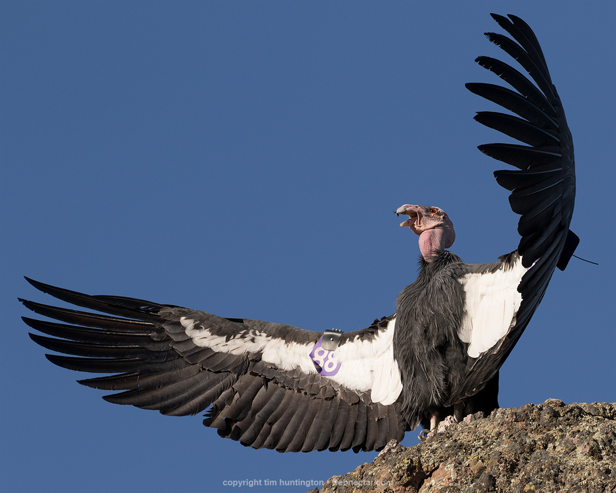California condor 688 tries to grab a bee with his beak during a wing warming session.