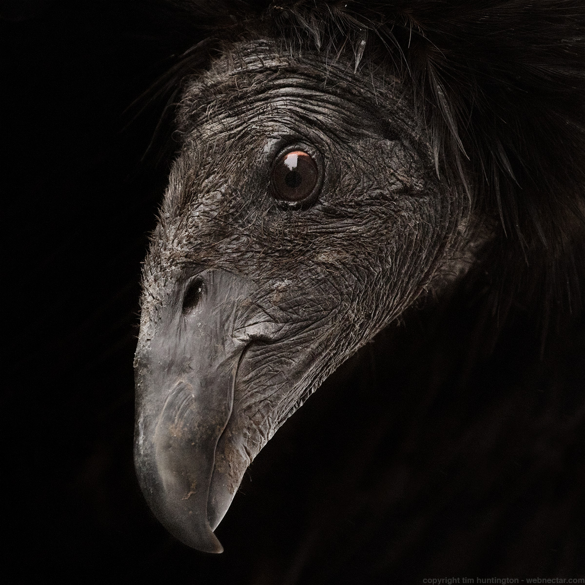 A portrait of two year old California condor #828, taken in Big Sur.