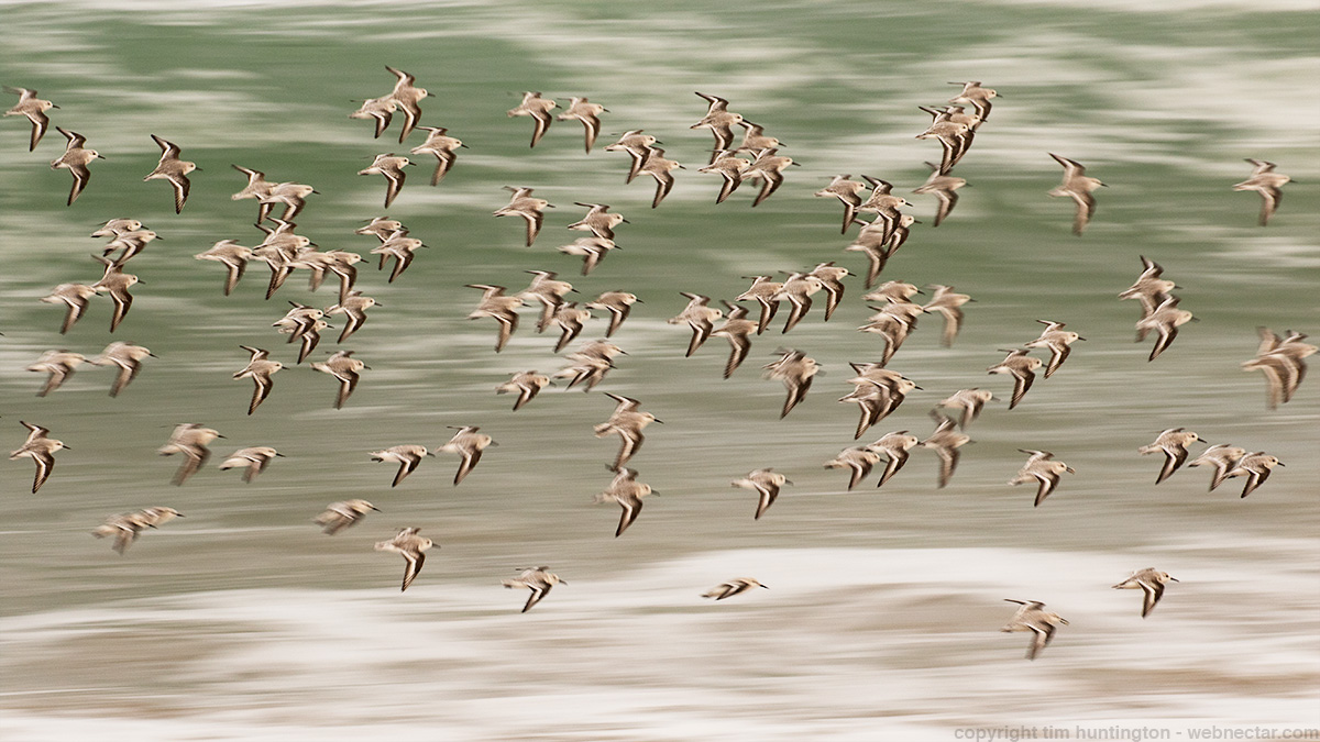 A flock of sanderlings comes in to land on the shore of Monterey Bay.