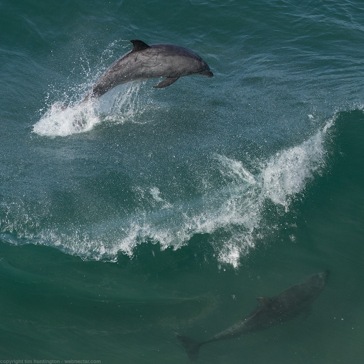 Bottlenose dolphins playing in the Big Sur surf.