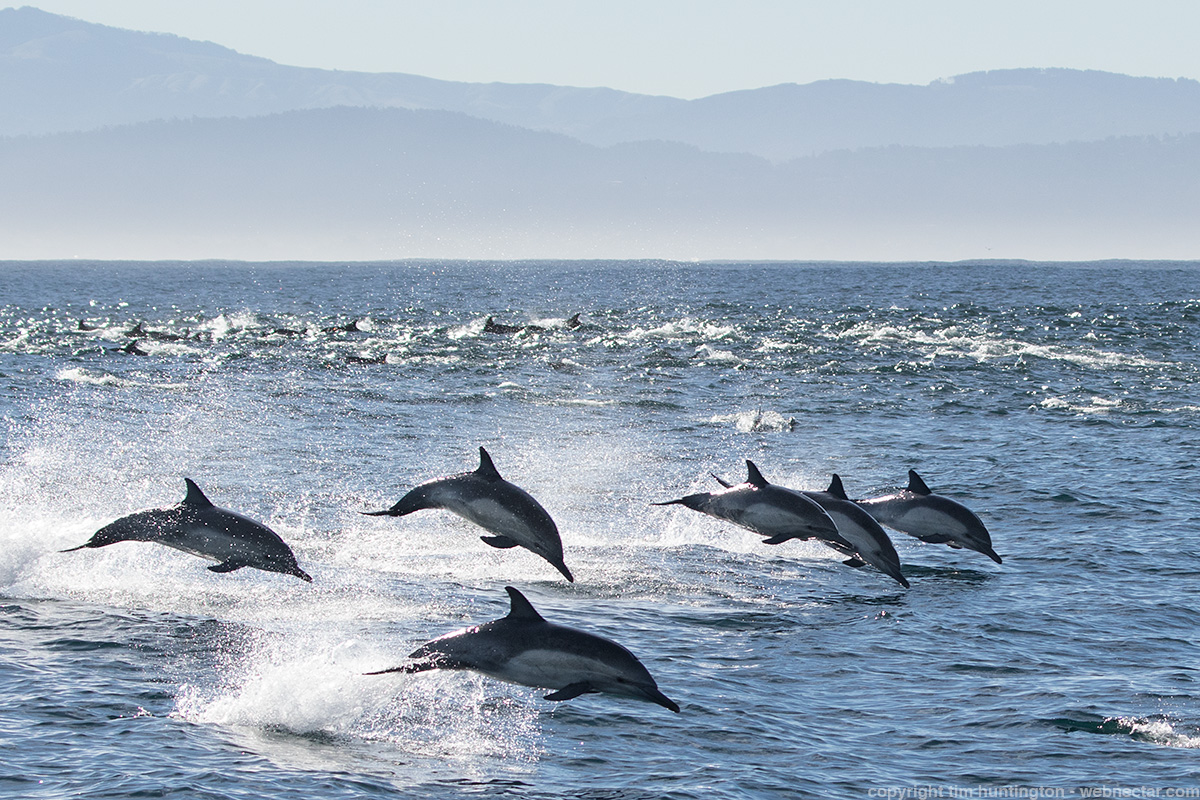 Very energetic common dolphins in Monterey Bay.