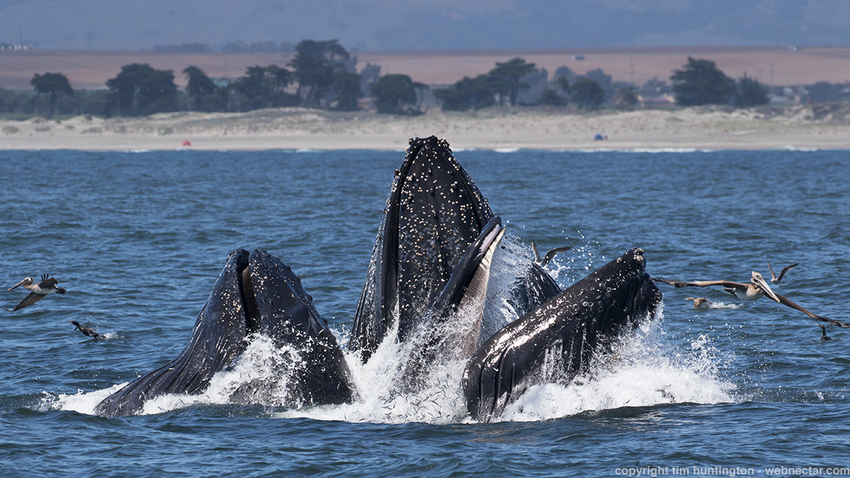 Three humpback whales lunge feed on anchovies in Monterey Bay.