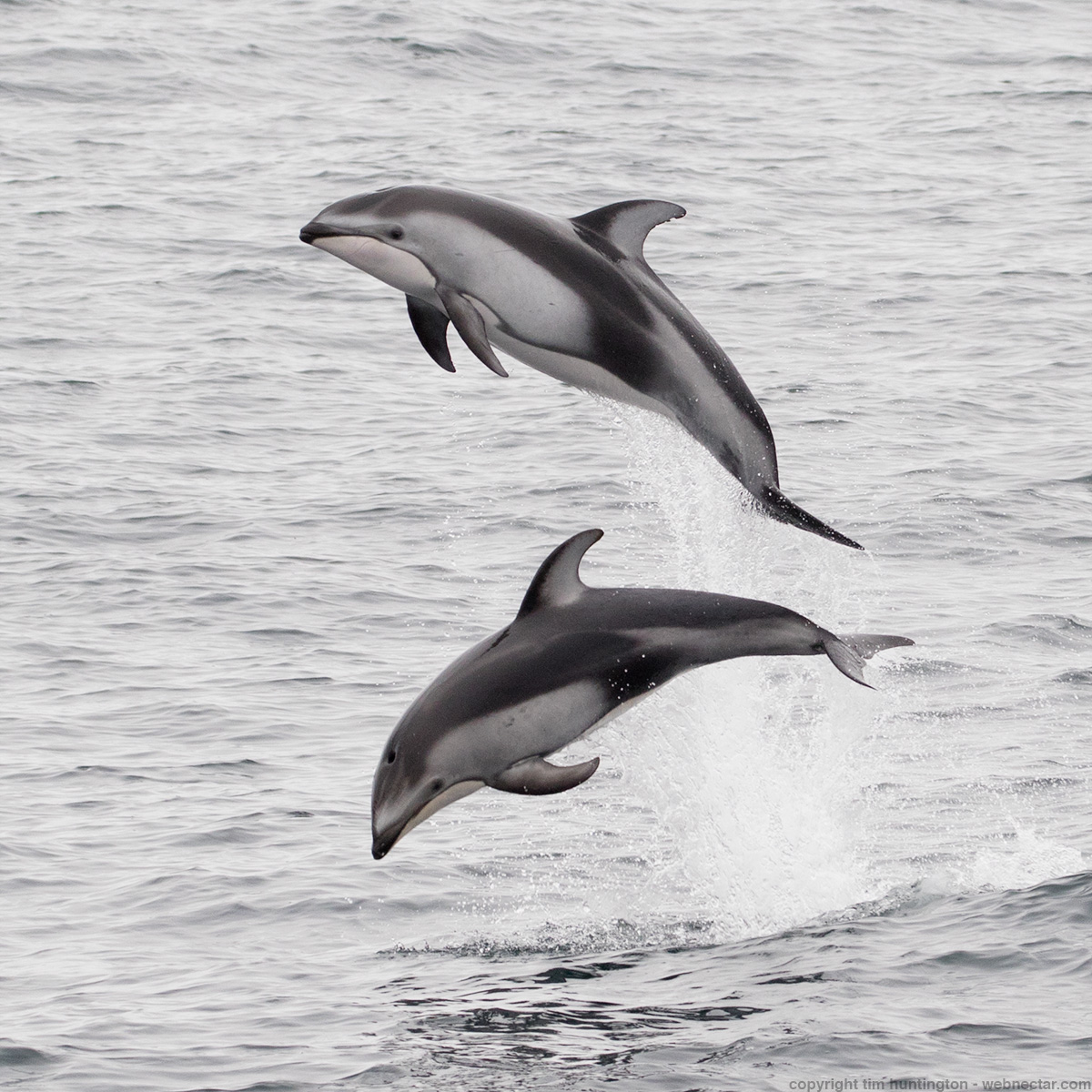 Pacific white-sided dolphins leaping out of Monterey Bay.