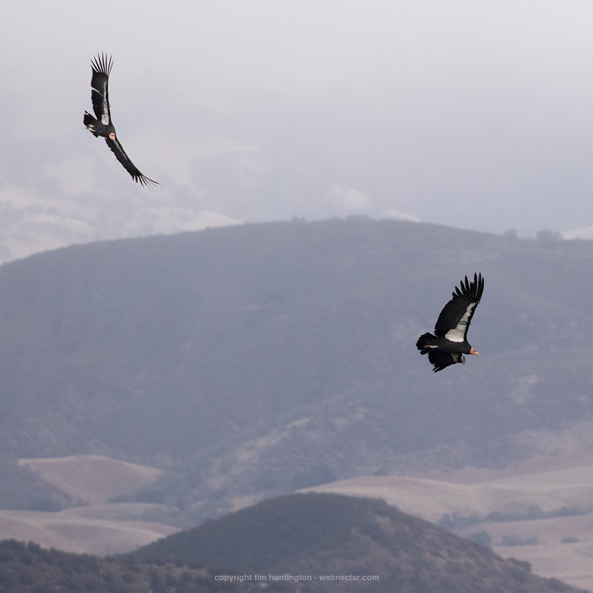 California condors 678 Electra and 700 flying over Pinnacles National Park's Condor Gulch.