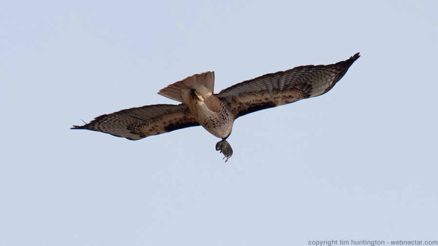 "A red tail hawk takes its lunch ""to go"" in Big Sur, CA."
