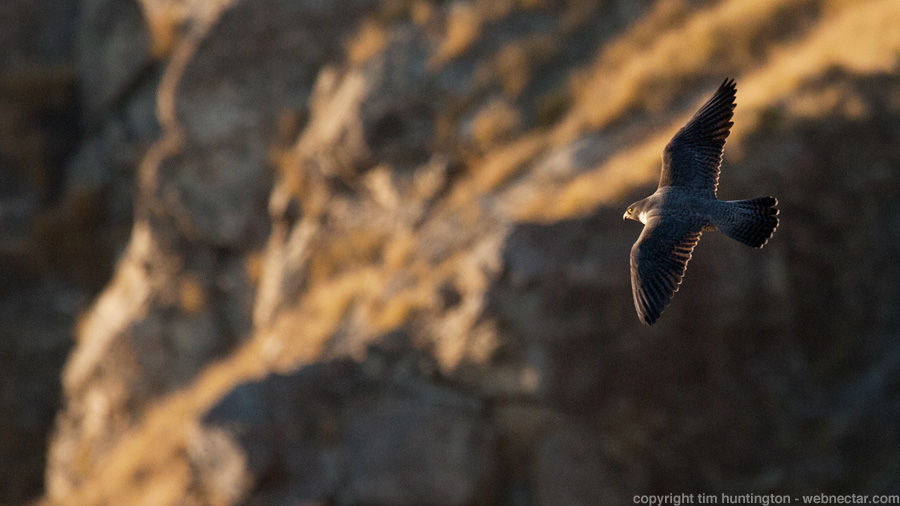 A peregrine falcon turns in front of a Big Sur, CA cliff in the late afternoon light.
