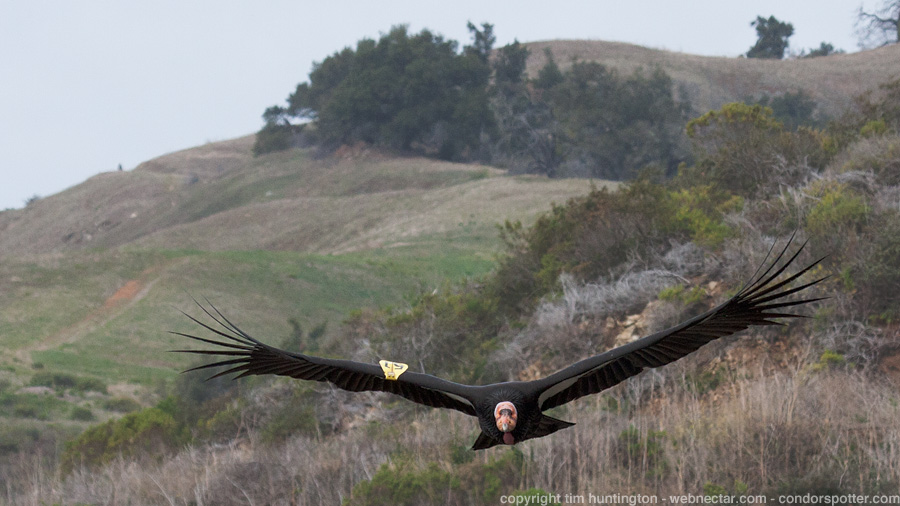 "California condor #251 ""Crush"" comes in for a low pass in Big Sur, CA."
