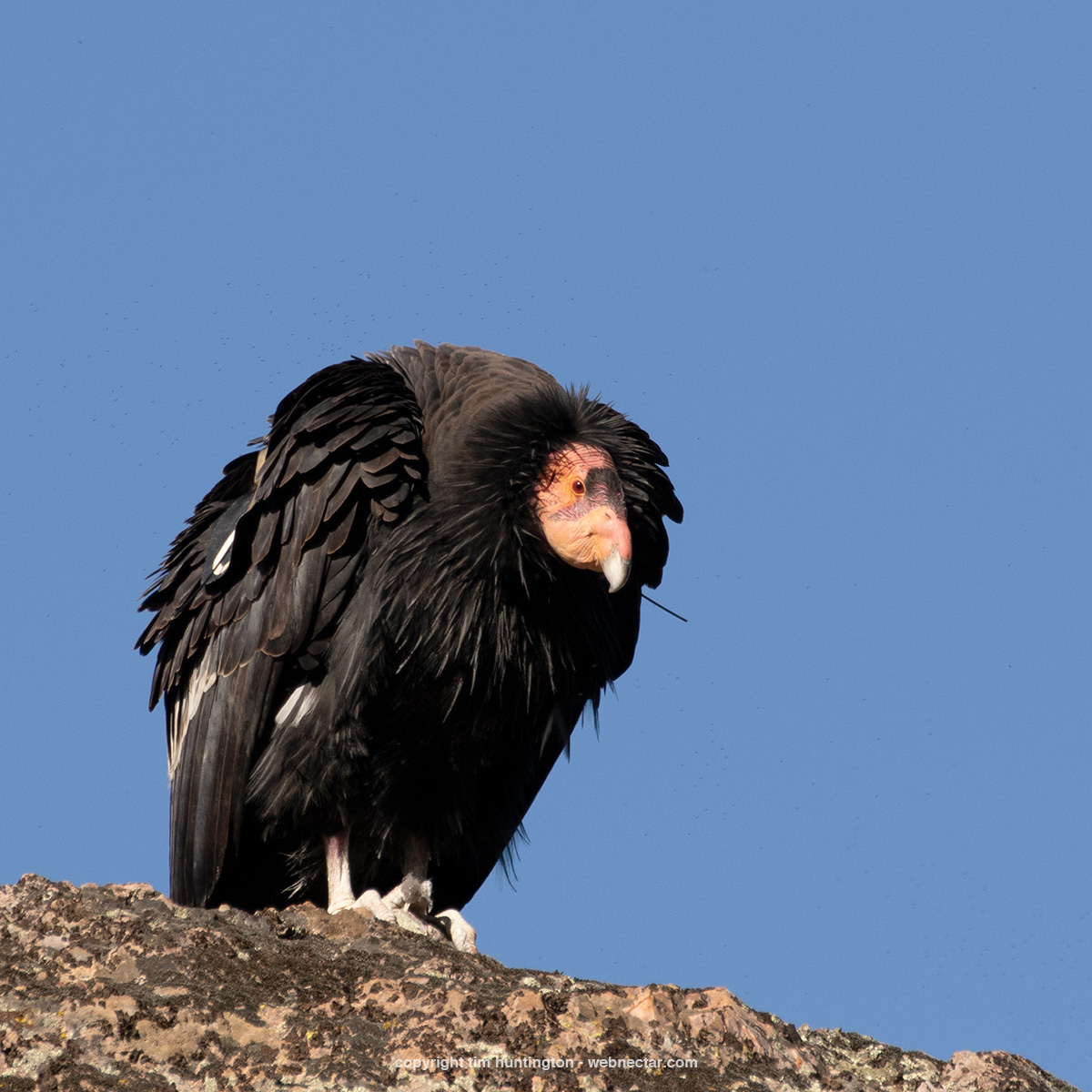 California condor 567 McWay, watching folks hiking in Pinnacles National Park.