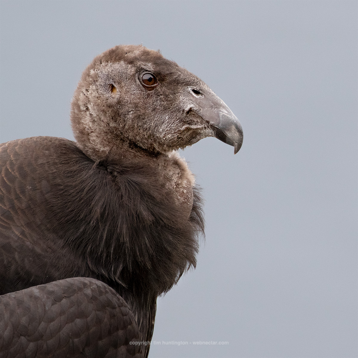 California condor 1003, a month or so after first leaving their nest, rests on a Big Sur cliff.