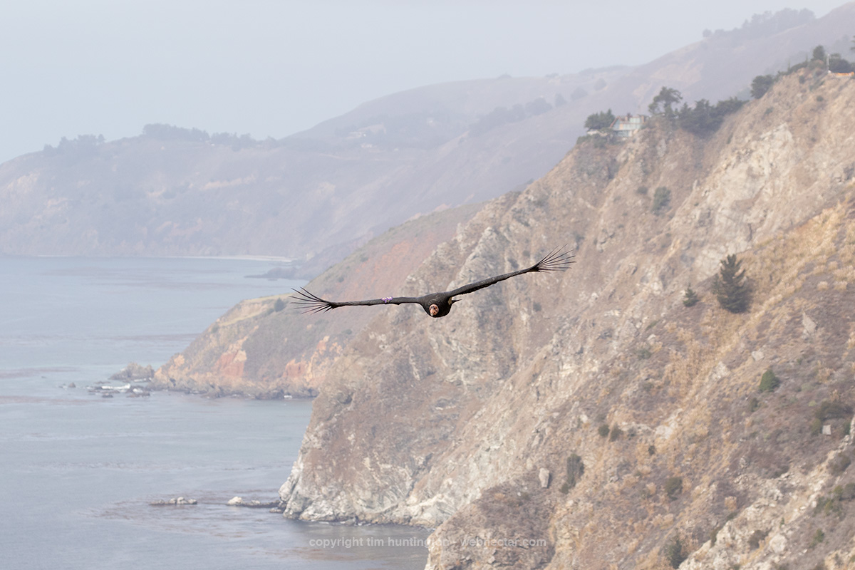 California condor 652 Ferdinand soaring over the coastline looking for any tasty treats that might have washed up.